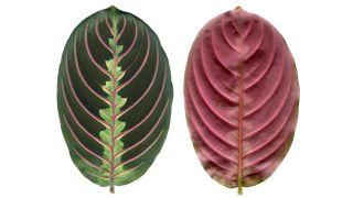 hojas de la Maranta Leuconeura