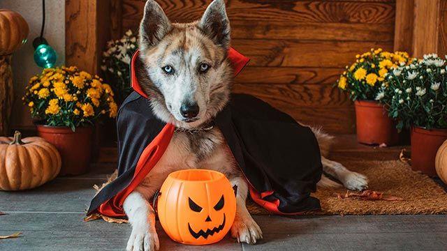 Perro disfrazado de Halloween y con cubo de calabaza