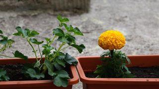 Plantas anti insectos: caléndula