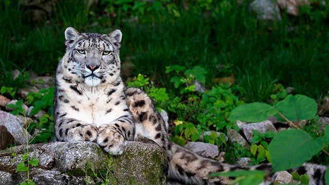 Leopardo de las Nieves mirando de frente