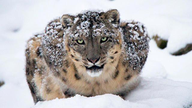 Leopardo de las Nieves en la nieve