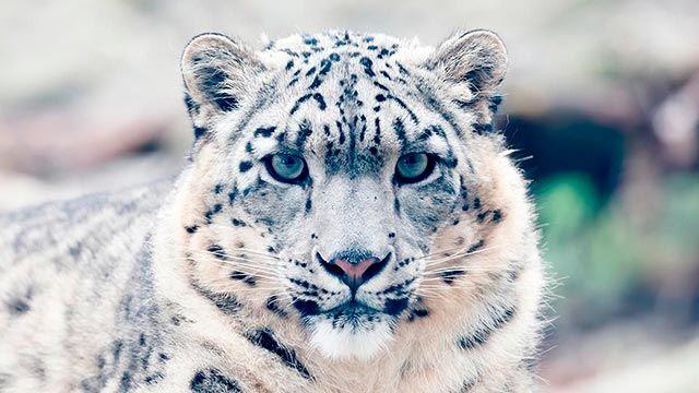 Cara del Leopardo de las Nieves