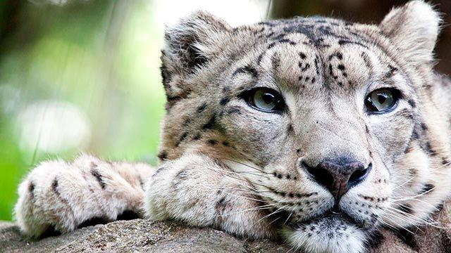 Cara del Leopardo de las Nieves sobre sus patas