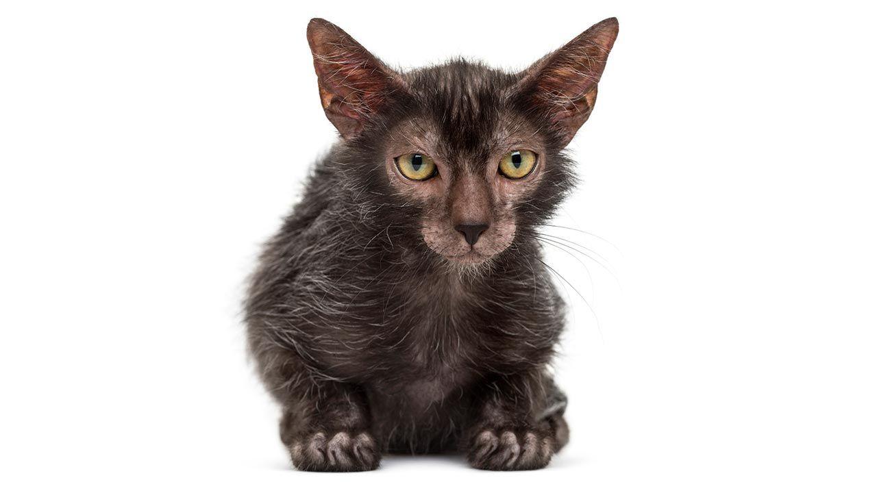 Gato Lykoi mirando de frente