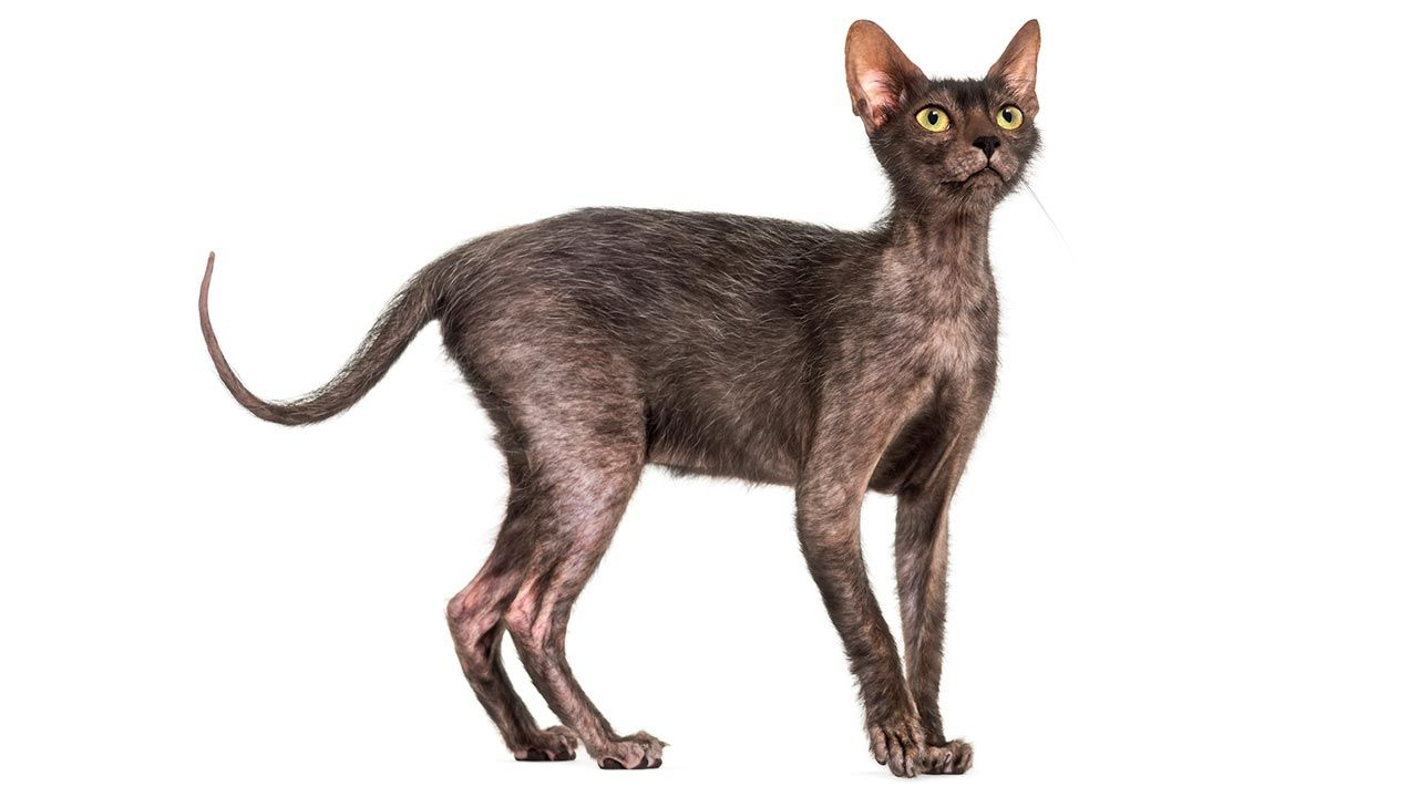 Gato Lykoi de cuerpo entero