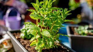 Menta: planta que repele insectos