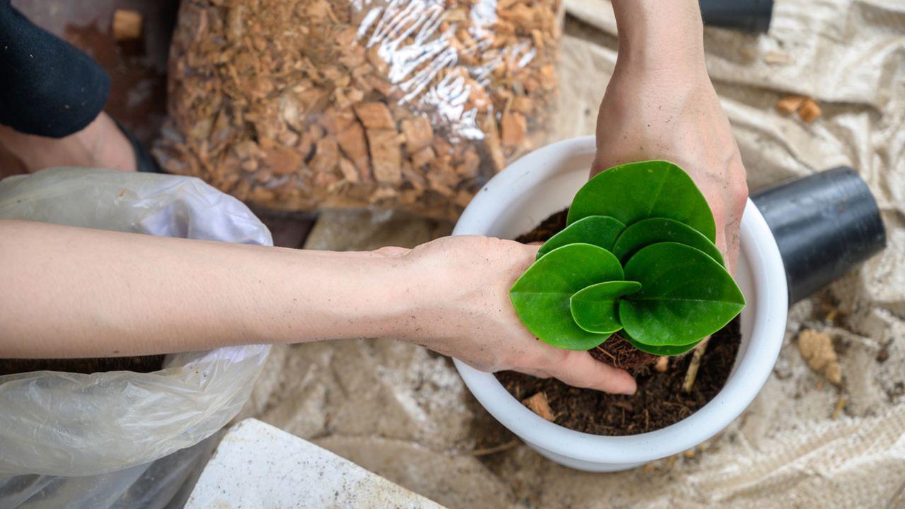 Peperomia obtusifolia: características y cuidados