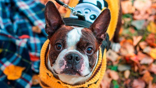 Perro con jersey otoñal