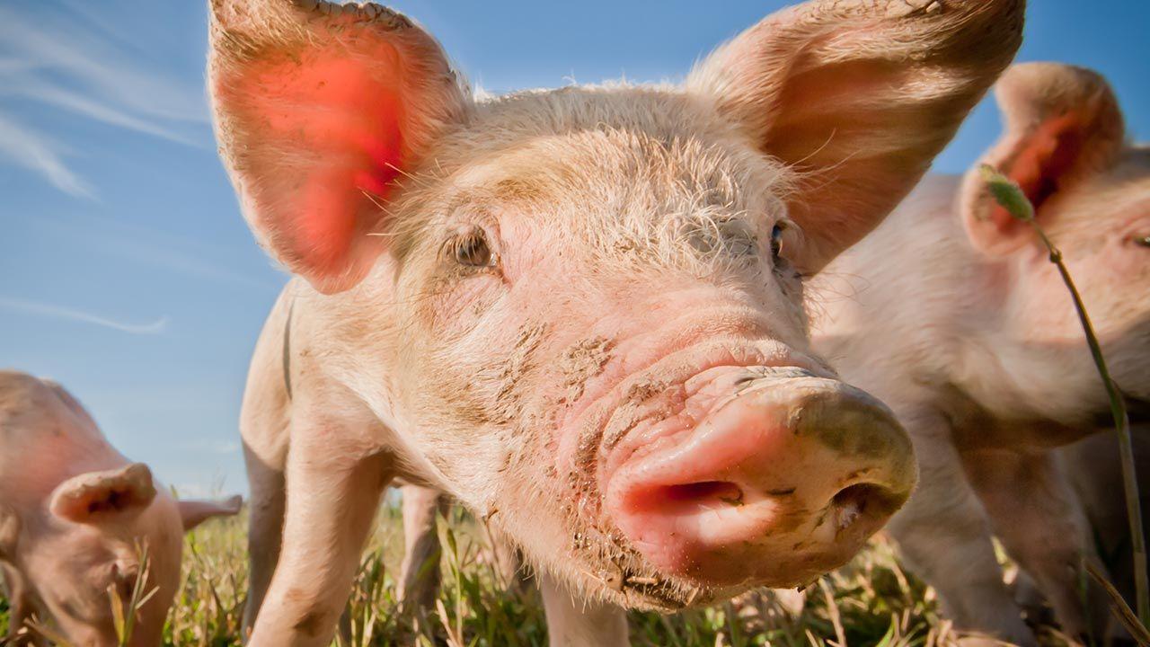 Selfie cerdo