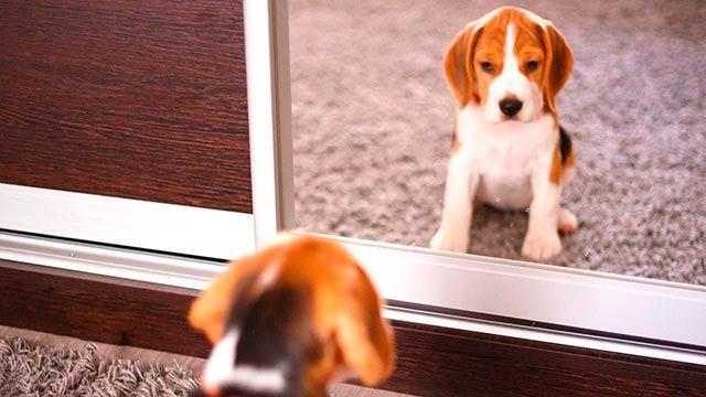 Perro mirándose en el espejo