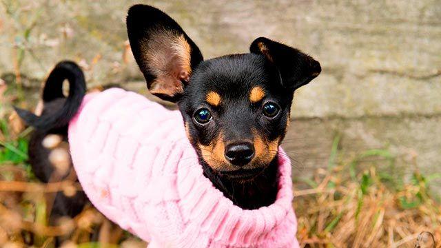 Perro vestido con jersey