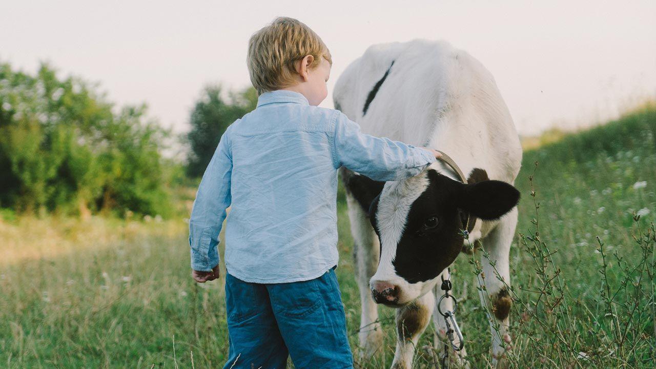 Niño acariciando una vaca