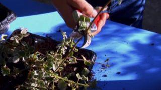 Reproducción plantas variegadas