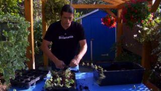 Cómo reproducir plantas colgantes variegadas