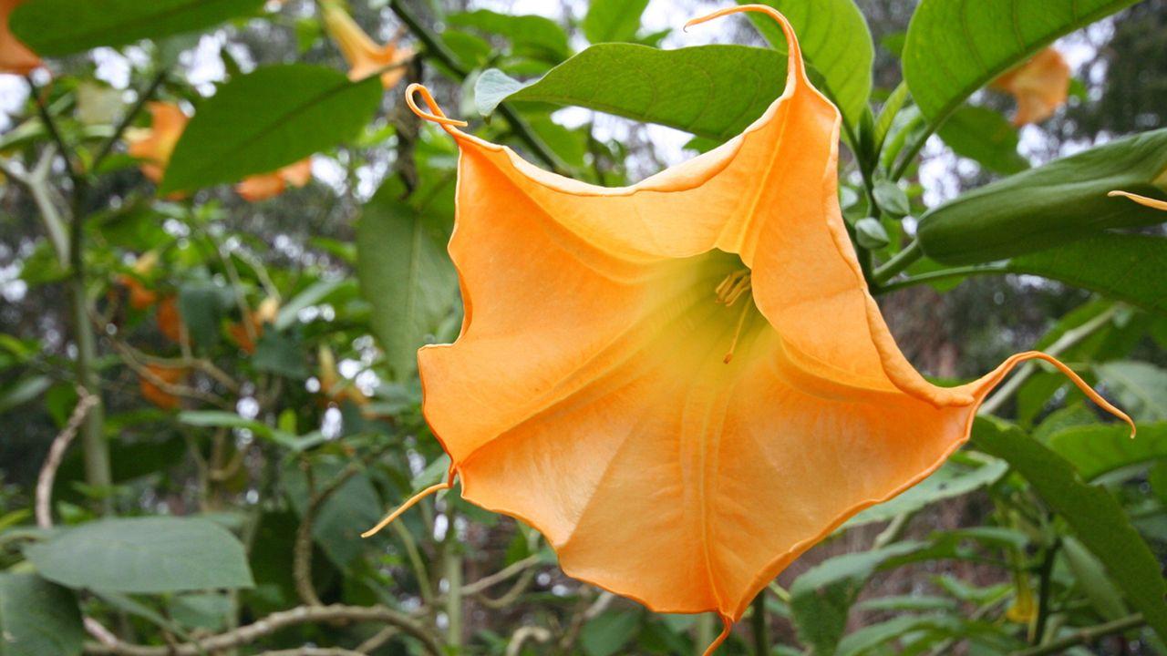 estramonio, planta venenosa
