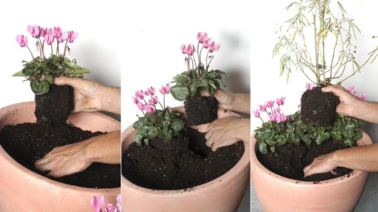 Composición con mimosa sensitiva