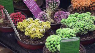 Cactus tintados