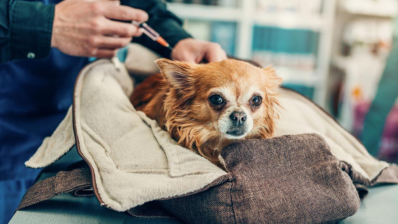 Inyección de insulina a un perro