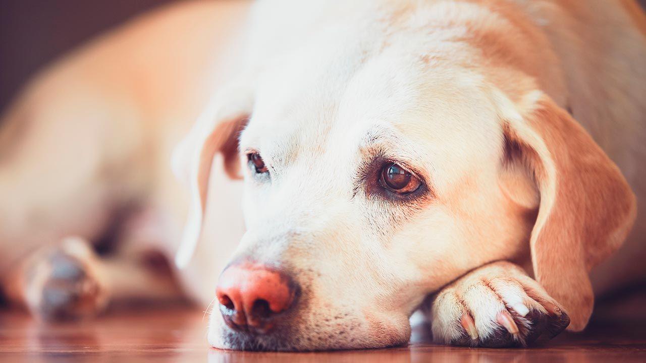 Perro con diabetes tumbado en el suelo