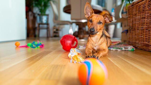 Perro rodeado de juguetes