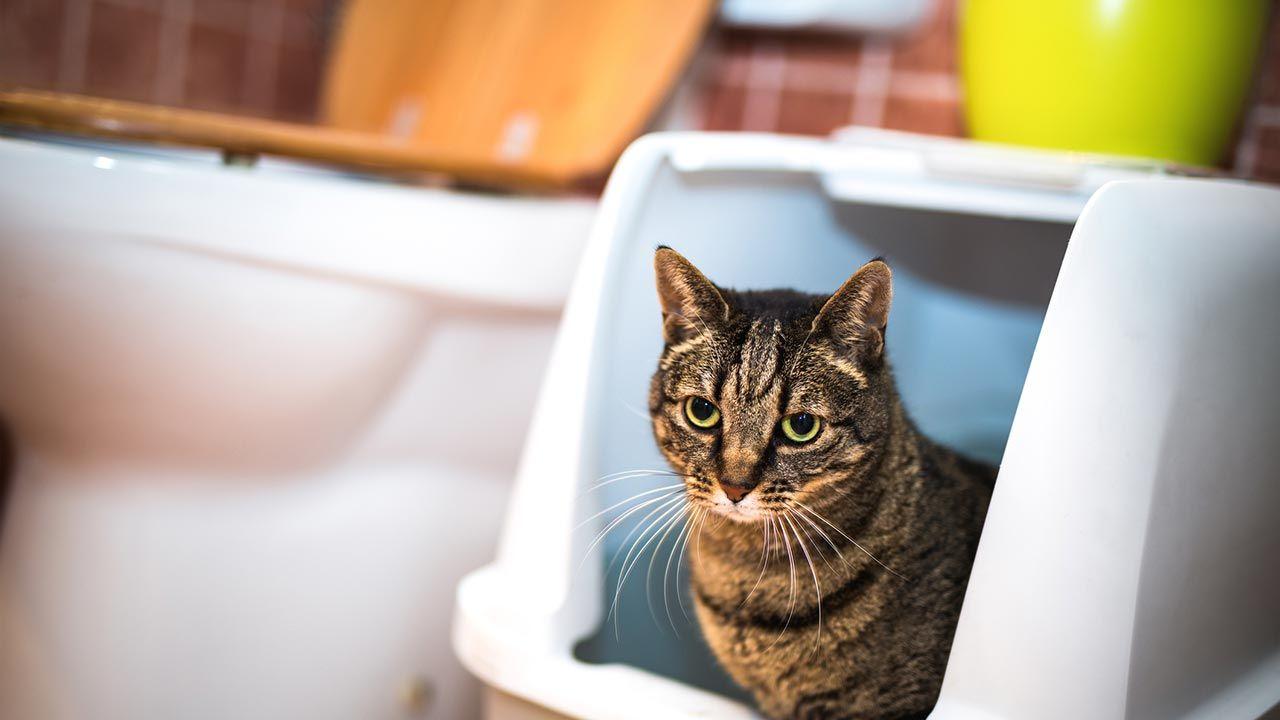 Gato dentro del arenero situado en el baño