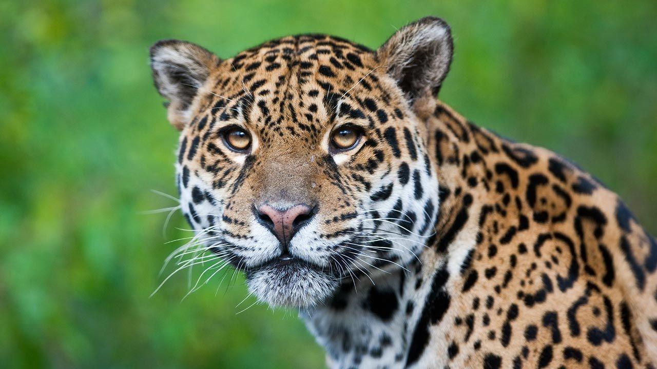 Jaguar mirando de frente