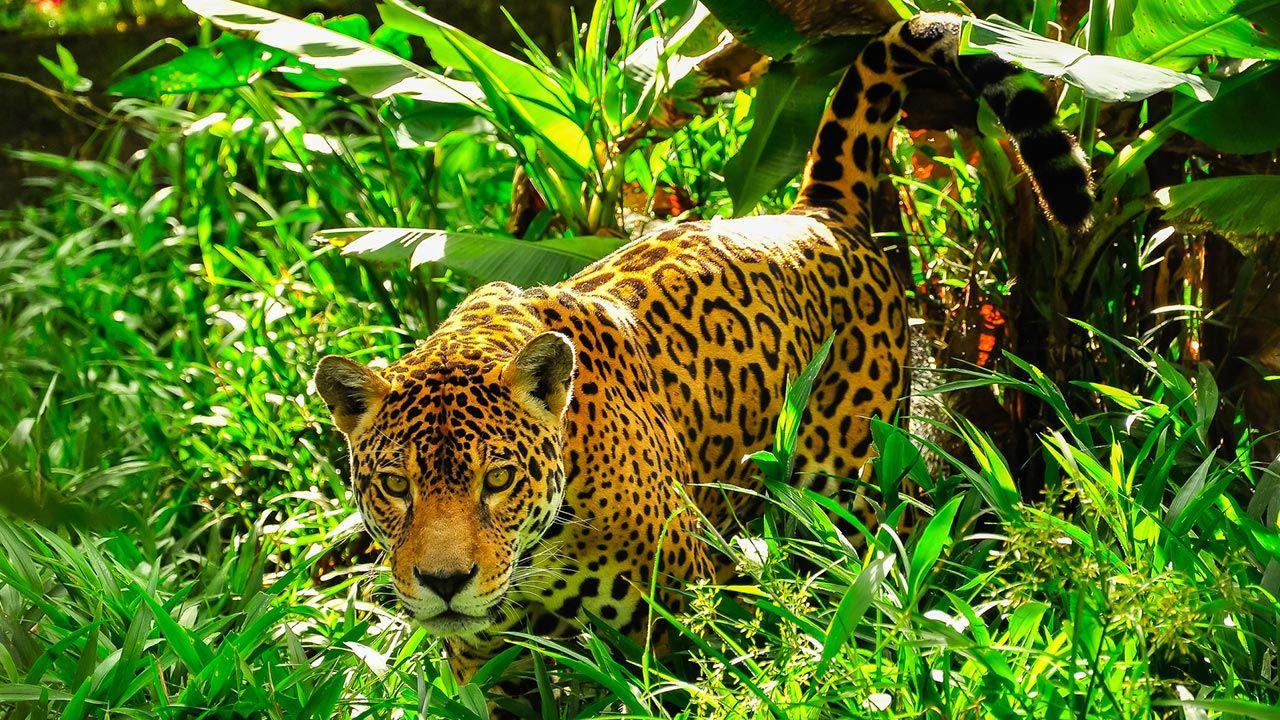 Jaguar caminando por la selva