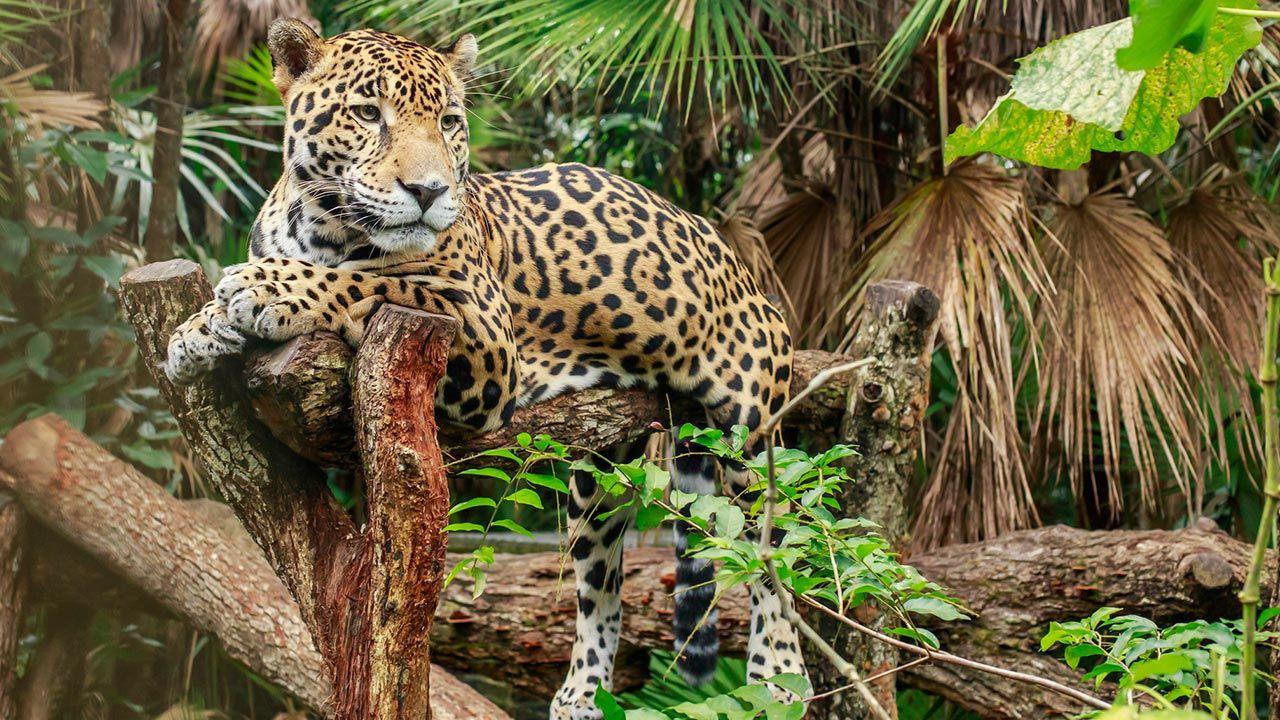 Jaguar tumbado en la rama de un árbol