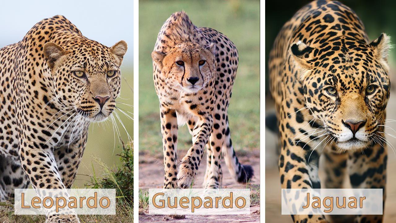 Diferencias entre el jaguar, el guepardo y el leopardo