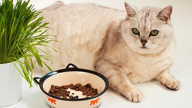 Gato obeso con cuenco de comida