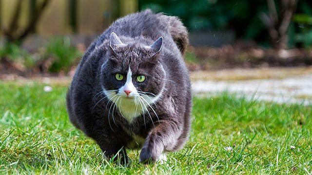 Gato obeso paseando por el jardín