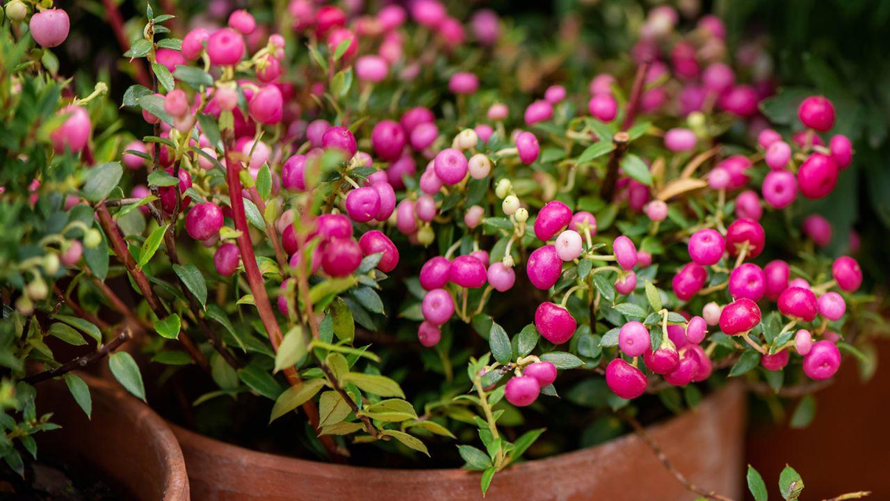 Pernettya Cuidados.Pernetia Arbusto De Bayas Decorativas Jardinatis