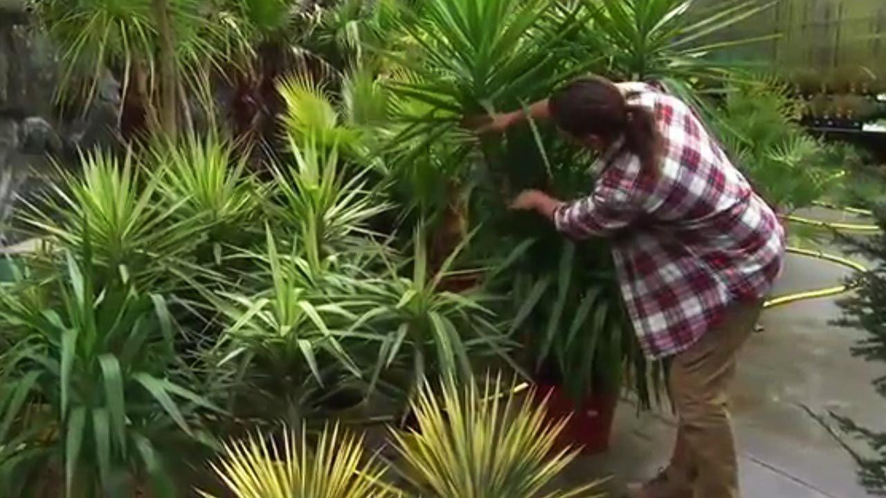¿Cómo sanear las hojas de la yuca?