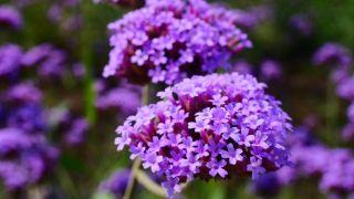 10 plantas medicinales para la salud de la mujer - Verbena