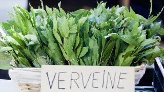 Verbena, planta medicinal - Descripción
