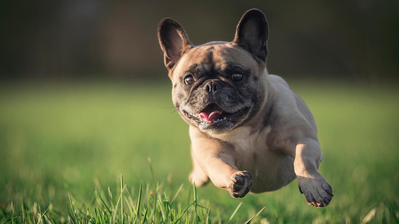 Perro ágil corriendo de frente