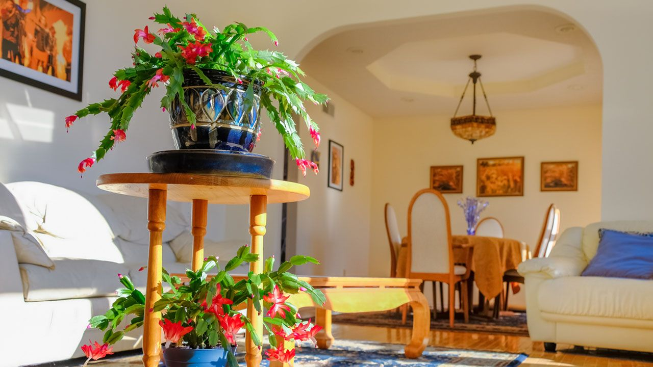 Cactus de navidad en casa