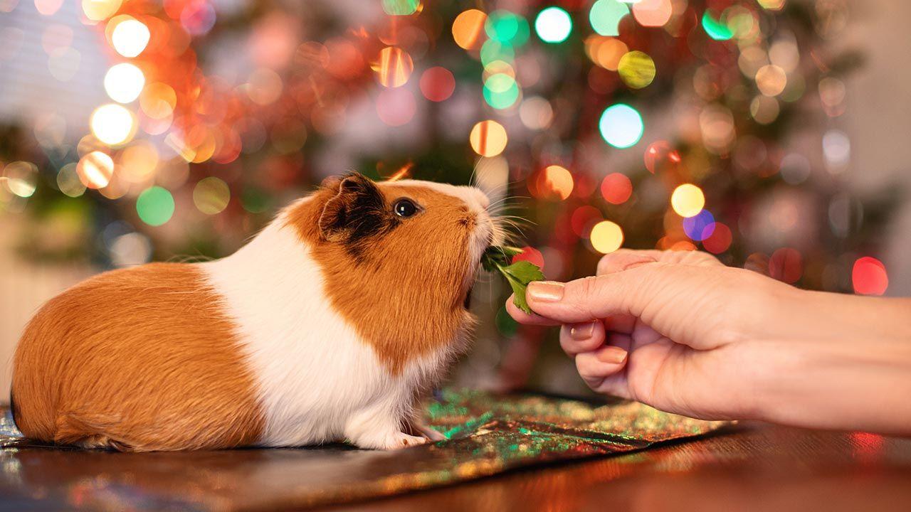 Cobaya frente al árbol de Navidad
