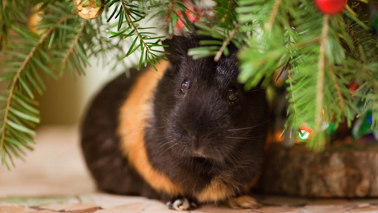 Cobaya asustada debajo del árbol de Navidad