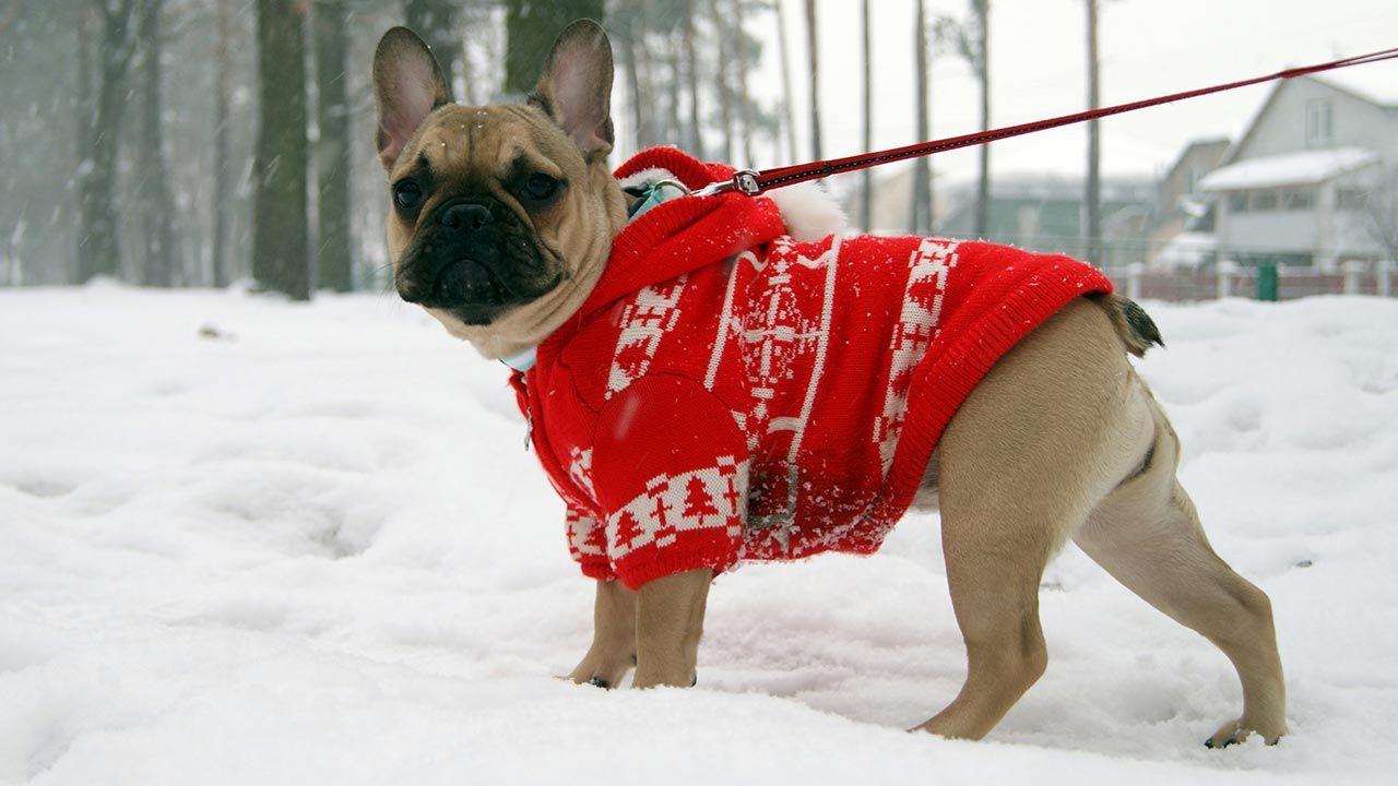 Perro con un jersey calentito paseando por la nieve