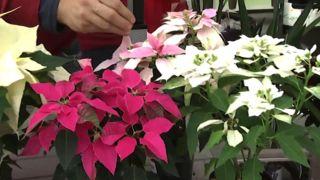 Variedades de flor de Pascua