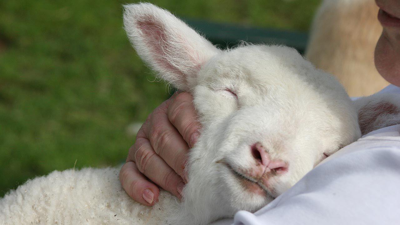 Oveja durmiendo feliz en los brazos de una persona