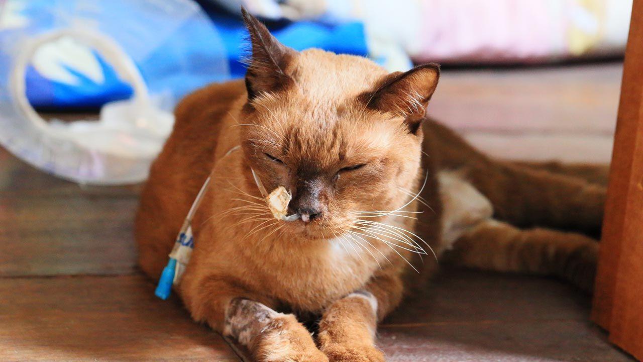 Gato enfermo con gotero