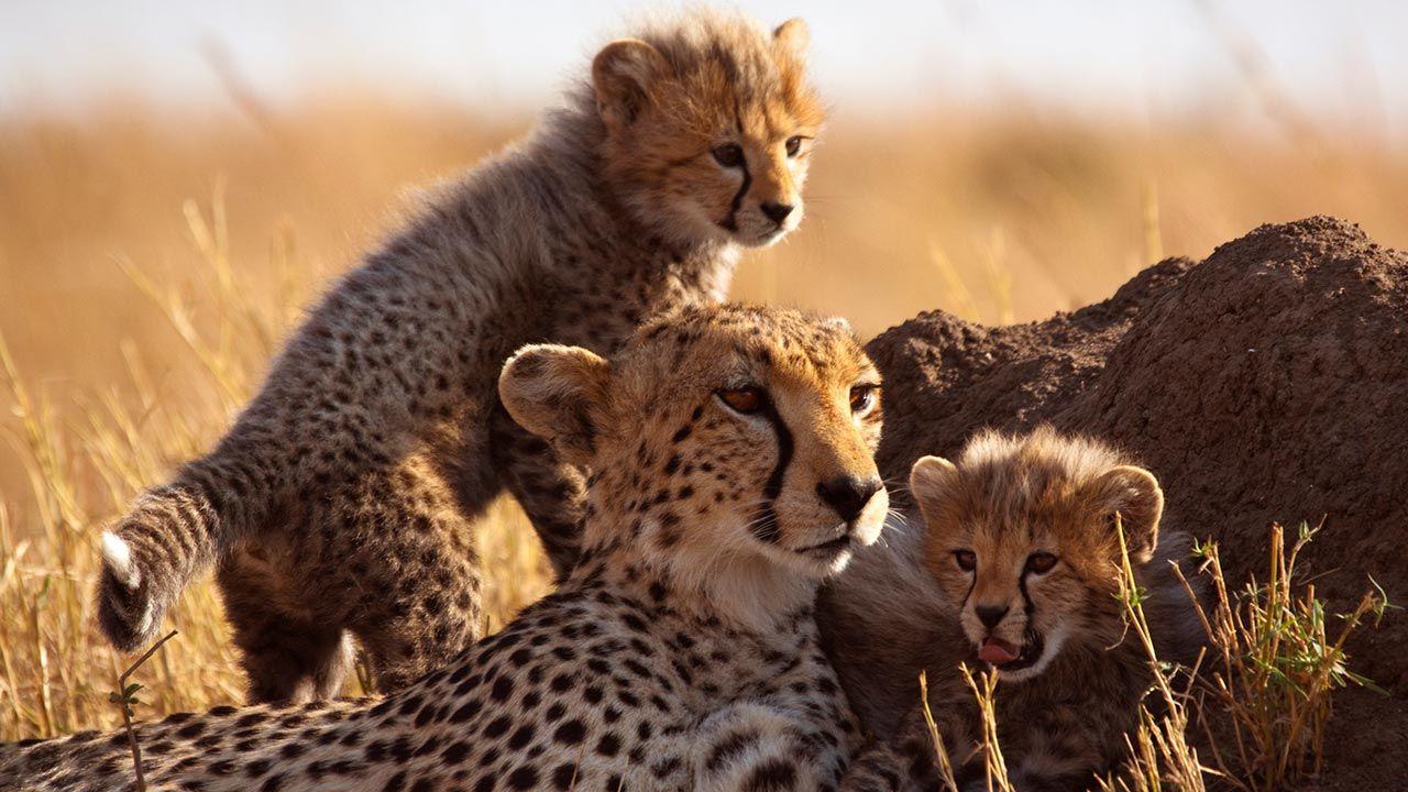 Madre guepardo con sus crías