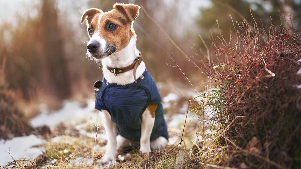 Perro con su abrigo disfrutando del paseo