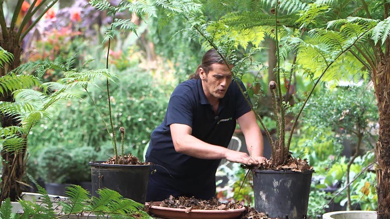 ¿Cómo promover el desarrollo de los helechos arbóreos?