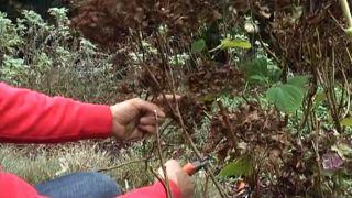 ¿Qué ocurre si no se podan las hortensias?