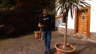 Poda de raíces de la drácena marginata