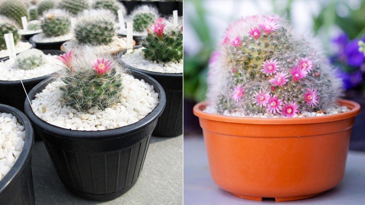 Cactus mammilaria