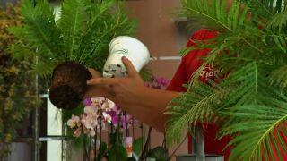 Cómo cultivar helechos en casa